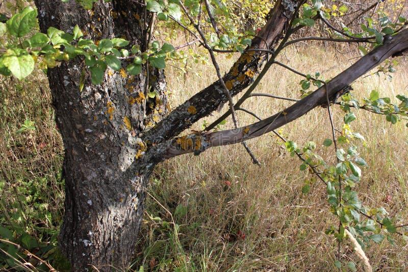 Krajobrazowy stary drzewo fotografia stock
