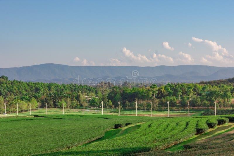 Krajobrazowy widok herbaciana plantacja z niebieskim niebem w popo?udniu, natury t?o obrazy stock