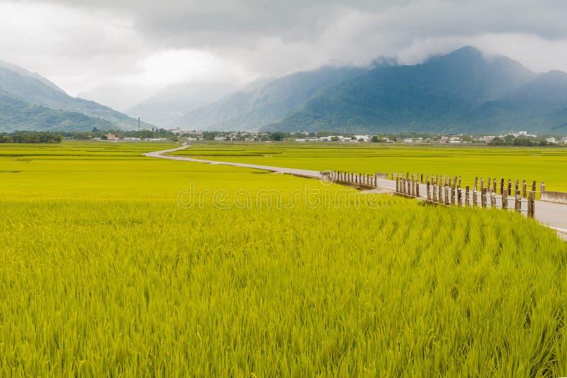 Krajobrazowy widok Piękni Rice pola Przy Brown aleją Chishang, Taitung, Tajwański Dojrzały złoty ryżowy ucho) obrazy stock