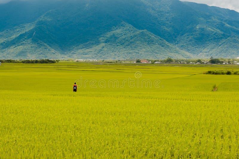 Krajobrazowy widok Piękni Rice pola Przy Brown aleją Chishang, Taitung, Tajwański Dojrzały złoty ryżowy ucho) fotografia royalty free