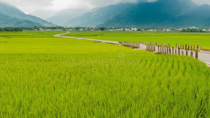Krajobrazowy widok Piękni Rice pola Przy Brown aleją Chishang, Taitung, Tajwański Dojrzały złoty ryżowy ucho) obraz stock