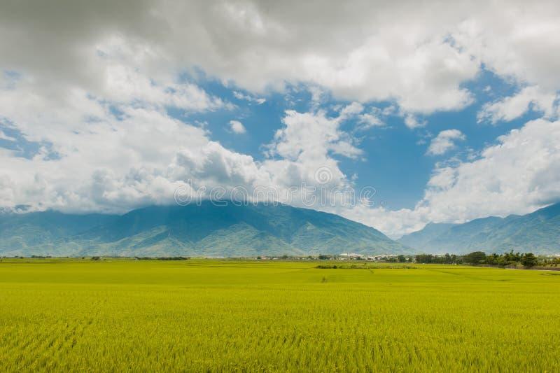 Krajobrazowy widok Piękni Rice pola Przy Brown aleją Chishang, Taitung, Tajwański Dojrzały złoty ryżowy ucho) obraz royalty free
