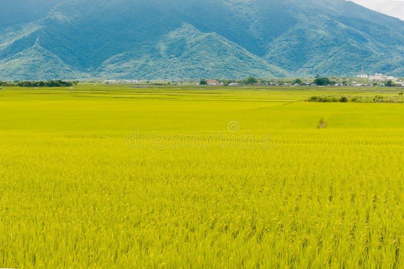 Krajobrazowy widok Piękni Rice pola Przy Brown aleją Chishang, Taitung, Tajwański Dojrzały złoty ryżowy ucho) obrazy royalty free