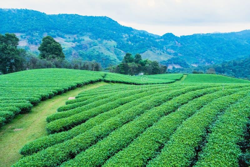 Krajobrazowy widok przy Herbacianą plantacją w ranku na Chmurnym dniu Tajlandia fotografia stock