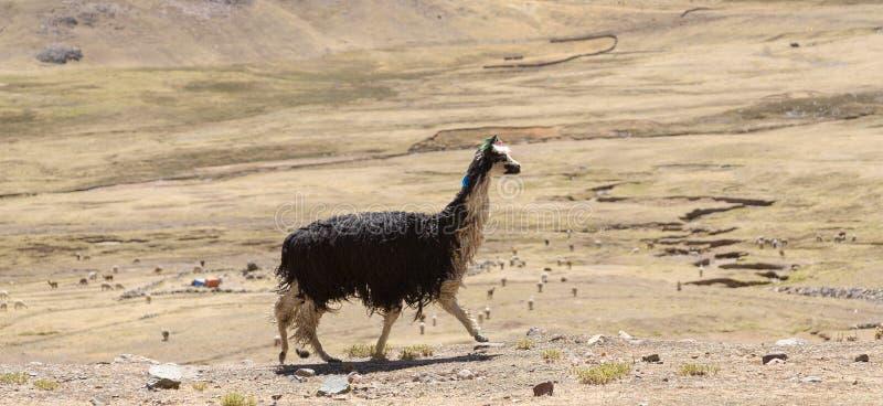 Krajobrazy z alpagą w Peru obrazy royalty free