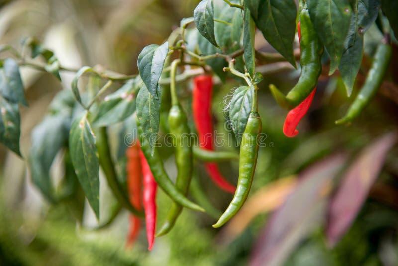 Download Krajowi chillies zdjęcie stock. Obraz złożonej z jedzenie - 106913172