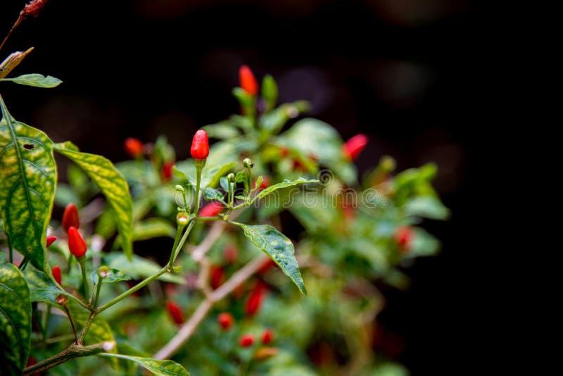 Download Krajowi chillies obraz stock. Obraz złożonej z deliciouses - 106913369