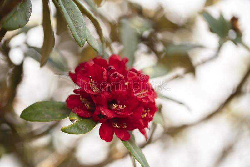 krajowy kwiat Nepal zdjęcie royalty free