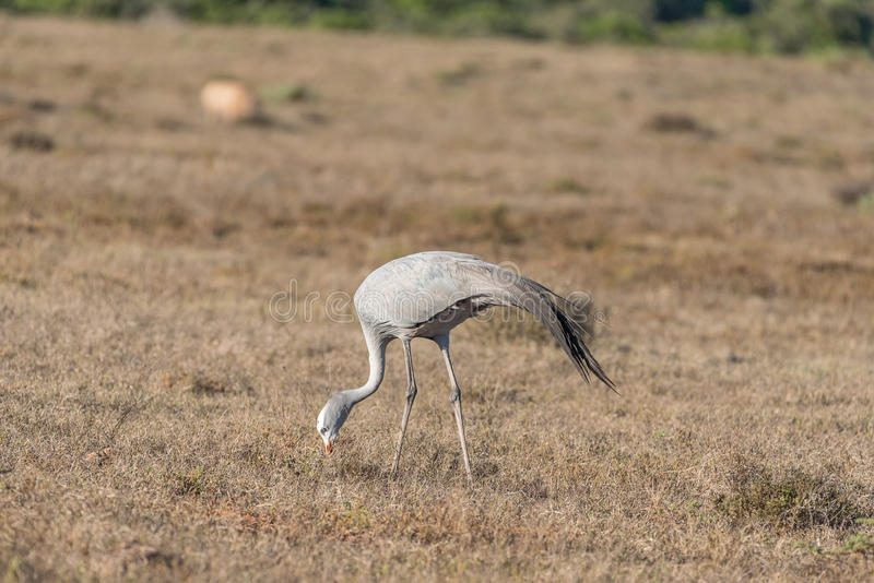 Krajowy ptak Południowa Afryka Błękitny żuraw fotografia stock