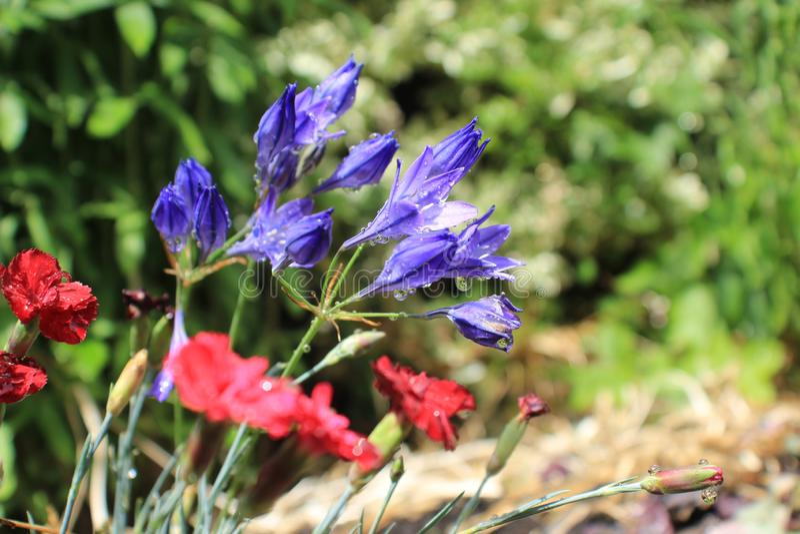 kraju angielski kwiatów ogród fotografia royalty free