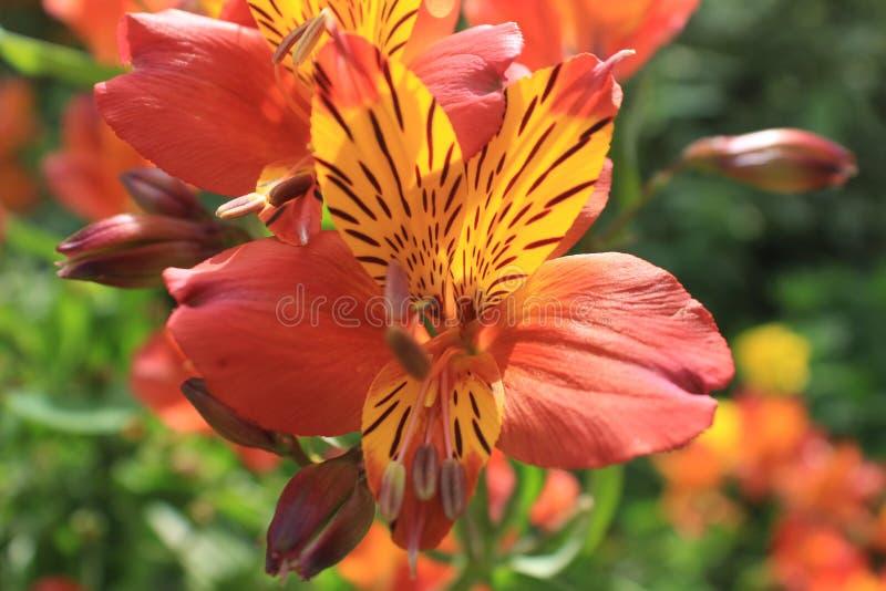 kraju angielski kwiatów ogród zdjęcia royalty free