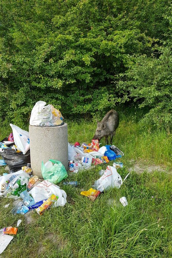 Krakau, Polen - 9 Juni, het everzwijn van 2019 eet huisvuil dichtbij een stapel van huisvuil in het bos stock foto's