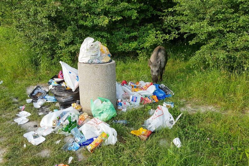 Krakau, Polen - 9. Juni 2019 isst wilder Eber Abfall nahe einem Stapel des Abfalls im Wald lizenzfreie stockfotos