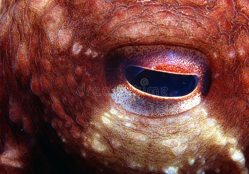 Krake-Auge stockfotos