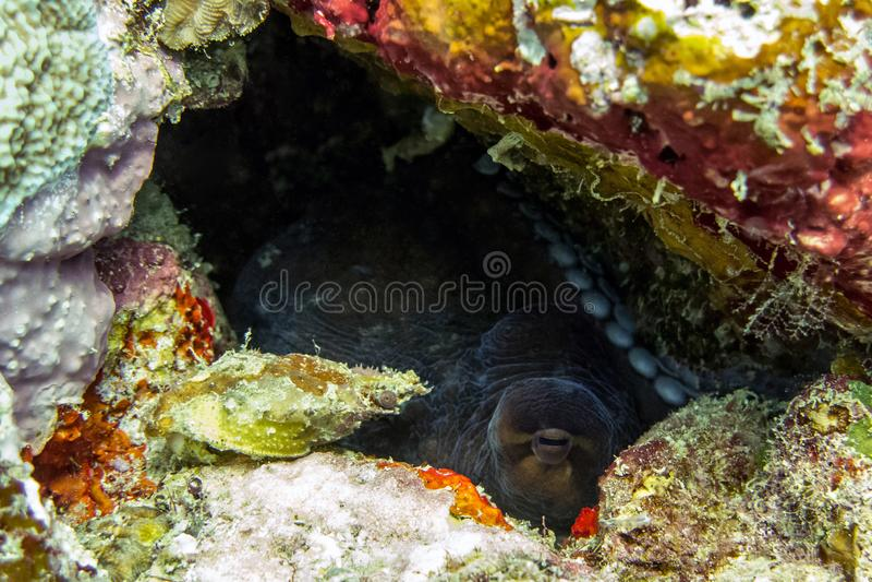 Krake, die in Coral Reef - Borneo, Malaysia sich versteckt lizenzfreie stockfotos