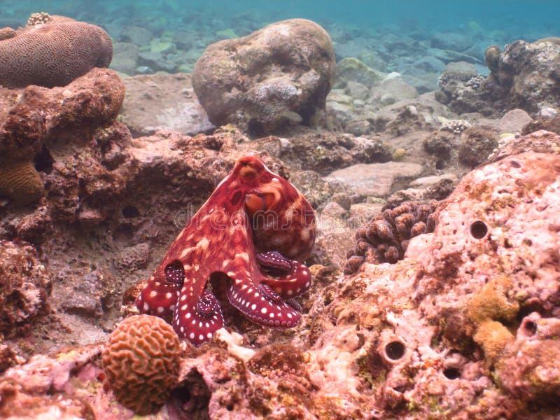 krake Tauchen in der Unterwasserkorallenriffwelt lizenzfreie stockbilder