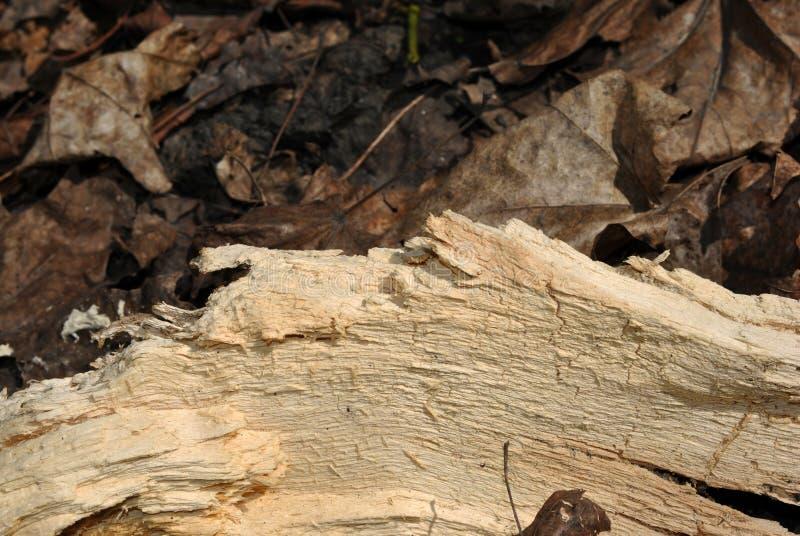 Krakingowa cisawa drzewnego bagażnika tekstura, zakończenie w górę szczegółu na przegniłym suszy liście obraz royalty free