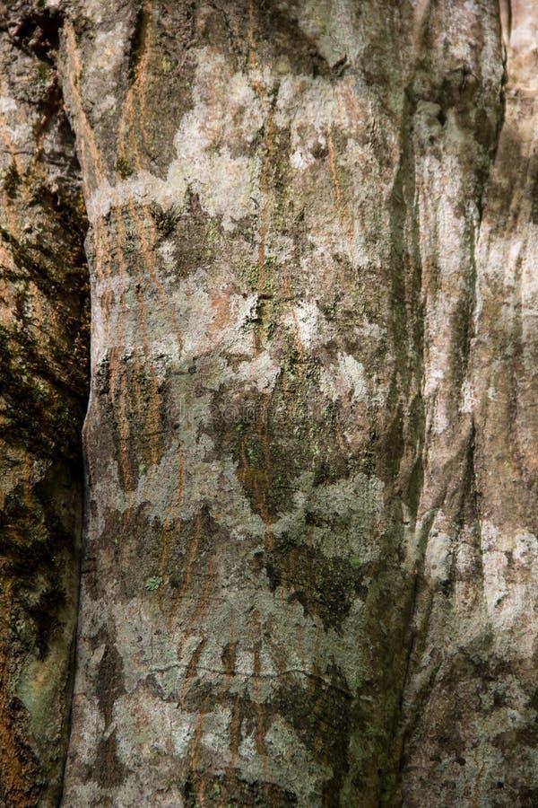 Krakingowa Szorstka Zielona Drzewna barkentyna z mech obrazy royalty free