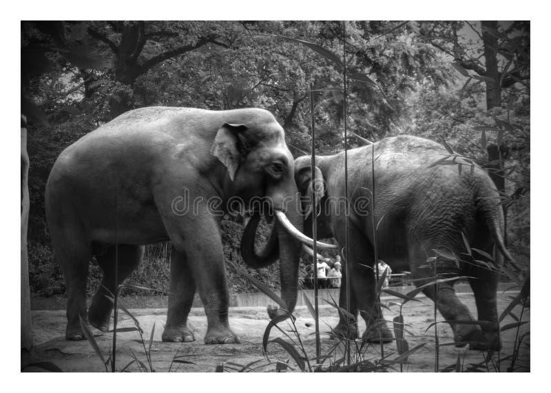 Krama för elefanter arkivfoto