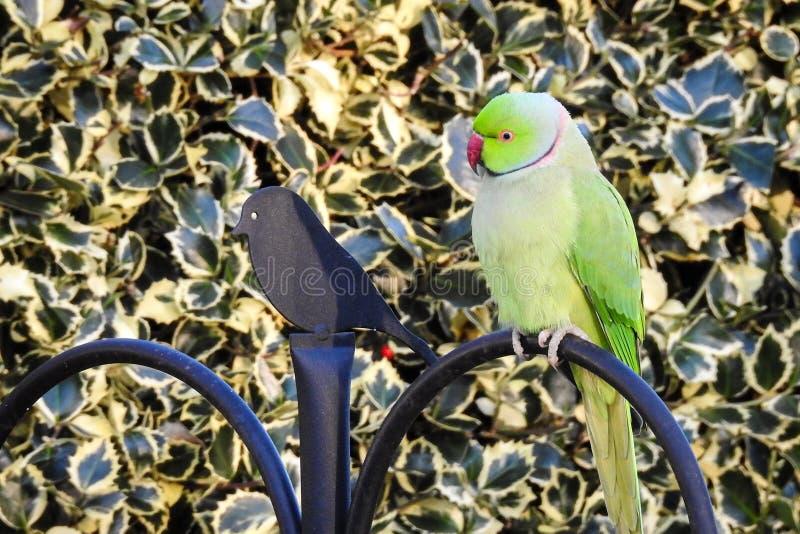 Krameri de Rose Ringed Parakeet Psittacula foto de archivo