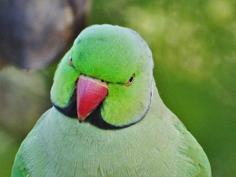 Krameri parrot avatar. The Krameri parrot is a large green and very popular tropical bird, also known as The Rose-ringed Parakeet Psittacula krameri, also known royalty free stock image