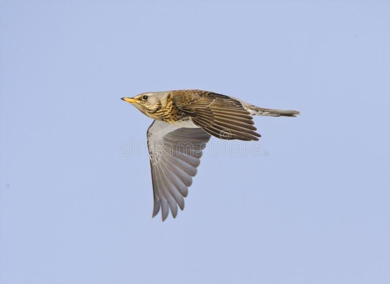 Kramsvogel, Fieldfare, Turdus pilaris. Kramsvogel in de vlucht; Fieldfare in flight royalty free stock photo