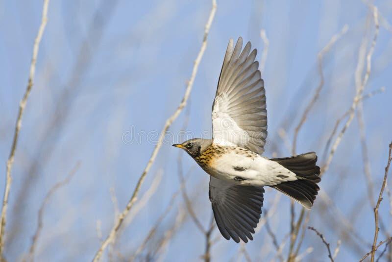 Kramsvogel, Fieldfare, Turdus pilaris. Kramsvogel in de vlucht; Fieldfare in flight royalty free stock photos