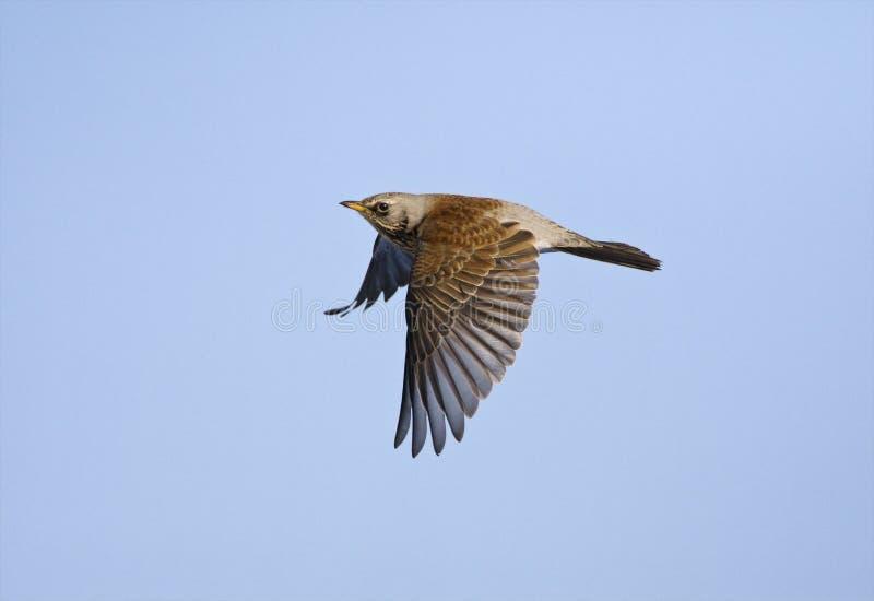 Kramsvogel, Fieldfare, Turdus pilaris. Kramsvogel in de vlucht; Fieldfare in flight stock photo