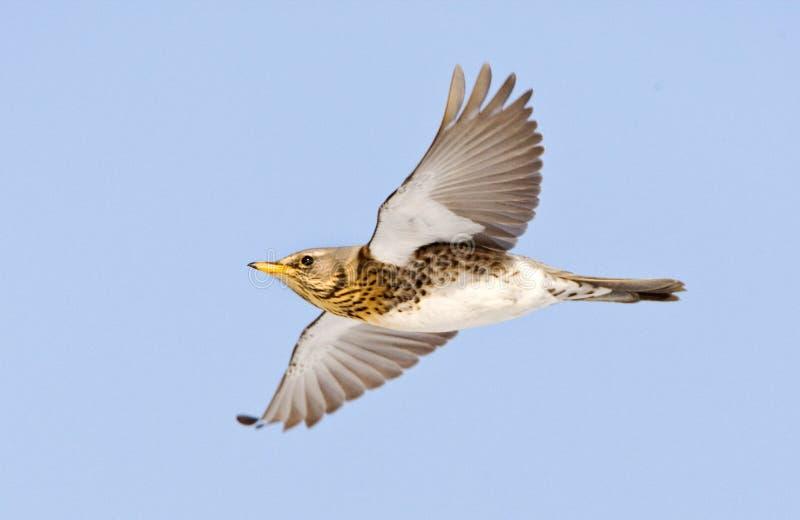 Kramsvogel, Fieldfare, Turdus pilaris. Kramsvogel in de vlucht; Fieldfare in flight stock photos