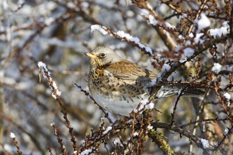 Kramsvogel, Fieldfare, Turdus pilaris. Kramsvogel in de winter; Fieldfare in winter royalty free stock images