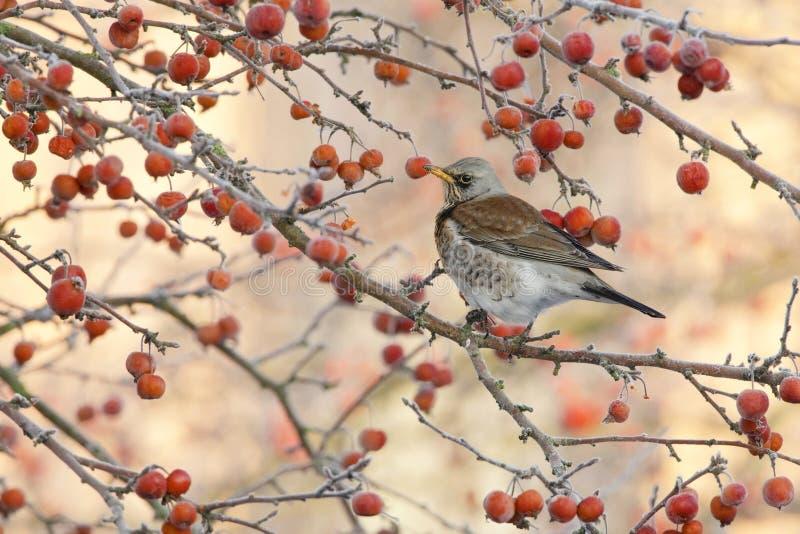 Kramsvogel, Fieldfare, Turdus pilaris. Kramsvogel in Malus boom, Fieldfare in Malus tree royalty free stock image