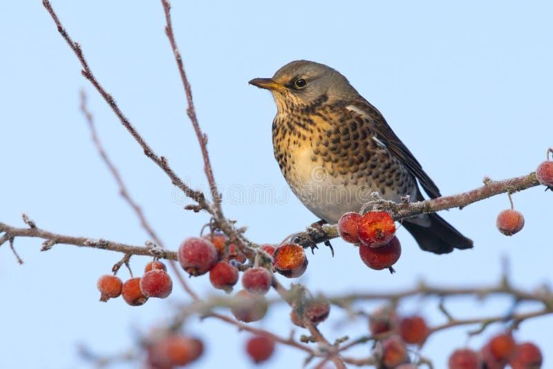 Kramsvogel, Fieldfare, Turdus pilaris. Kramsvogel in Malus boom, Fieldfare in Malus tree stock photos