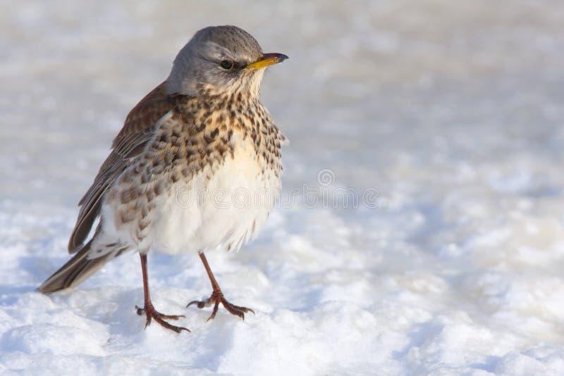Kramsvogel, Fieldfare, Turdus pilaris. Kramsvogel op bevroren sneeuw, Fieldfare at vrozen snow royalty free stock photography