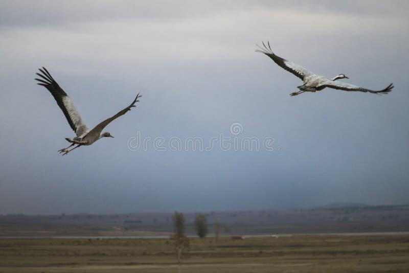 Kranar som flyger över fält royaltyfri bild