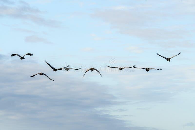 Kranflyg in mot soluppgången i morgonen royaltyfri bild