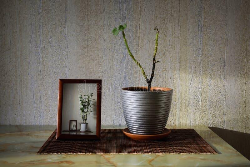 Kranke Anlage im Topf nahe einem Rahmen mit Bild von blühenden Orchideen stockbilder