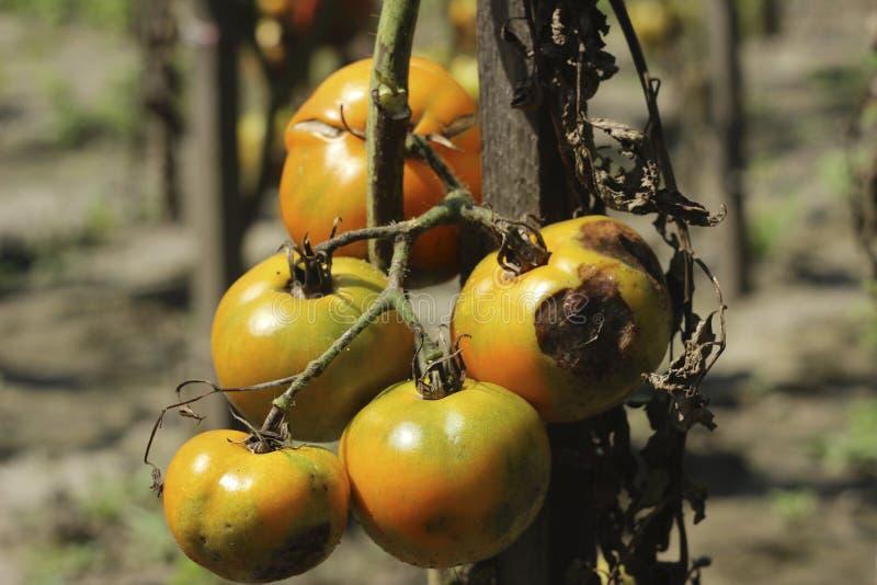 Kranke Tomaten im Garten, das Gemüse angesteckt mit später Trockenfäule stockfotos