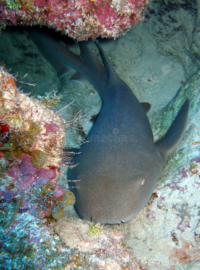 Krankenschwesterhaifisch lizenzfreie stockfotos