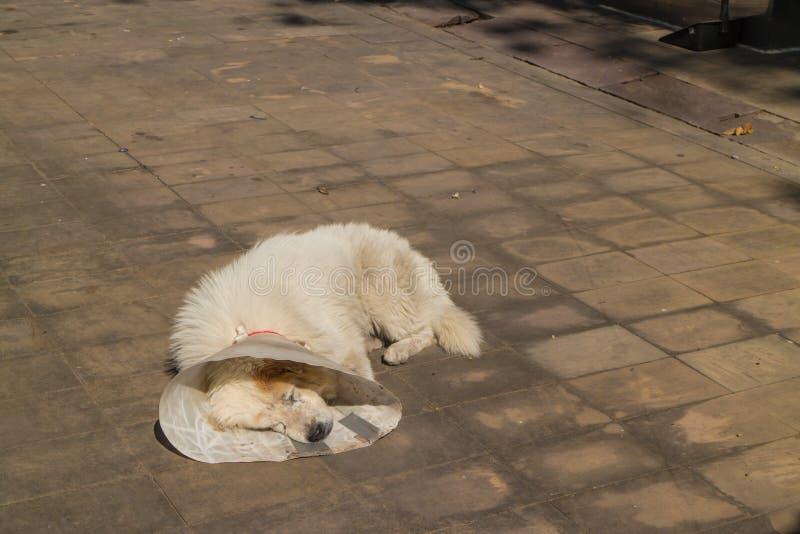 Kranker alter weißer Hund mit Kragenschlaf auf der Straße lizenzfreies stockbild