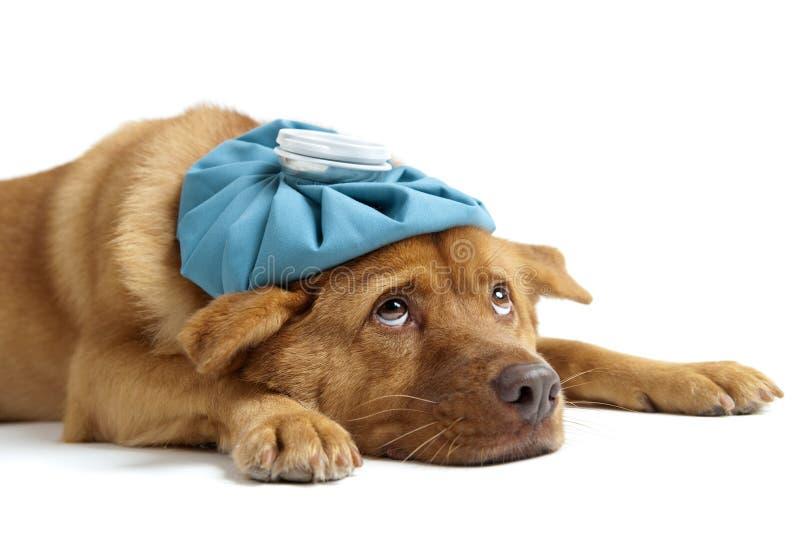 Kranker Hund lizenzfreie stockfotos