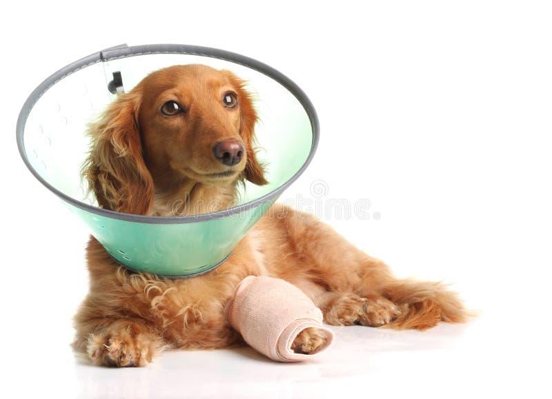 Kranker Hund lizenzfreie stockfotografie