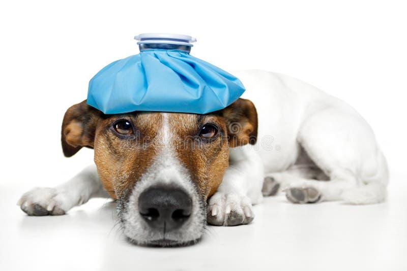 Kranker Hund lizenzfreies stockfoto