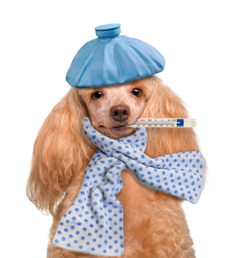 kranker hund stockfoto bild von kalt schmerz patient 37634858. Black Bedroom Furniture Sets. Home Design Ideas