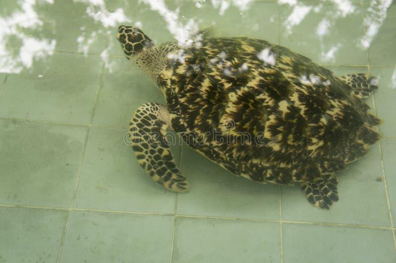 Krankes kleines kleines Naturkonzept der Meeresschildkröte unter Wasser lizenzfreies stockbild