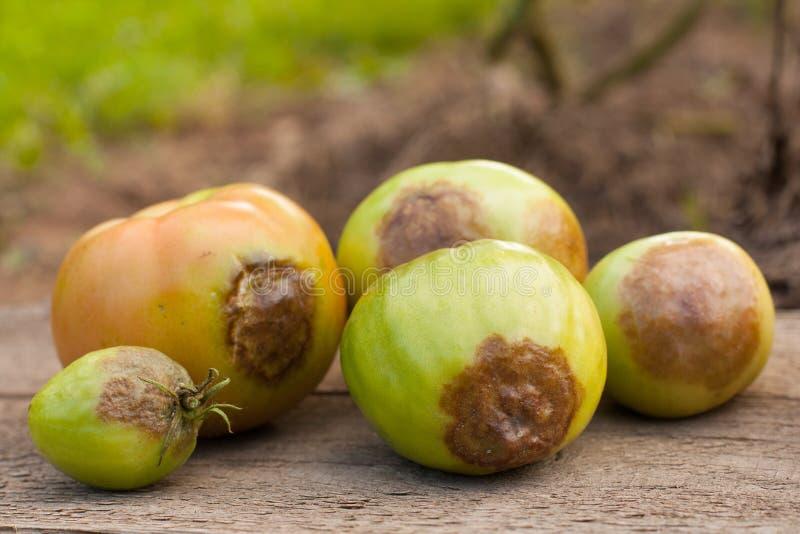 Krankheiten der Tomate lizenzfreies stockfoto