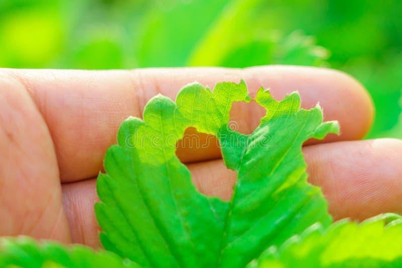 Krankheiten von Erdbeerblattparasiten stockfotografie