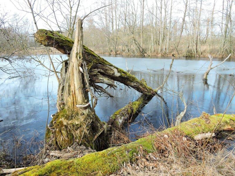 Kraschat träd i träsket, Litauen arkivfoto