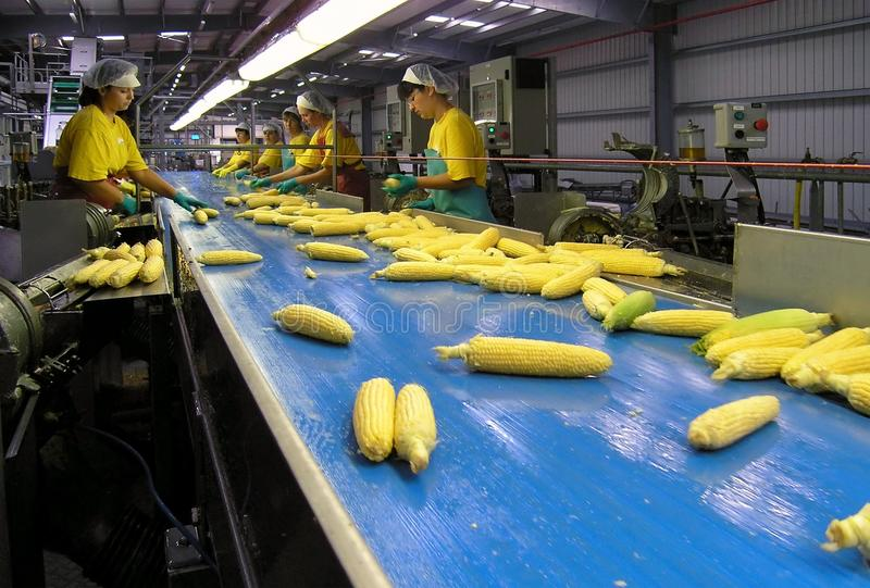 Female workers of the Boduelle maize processing factory sort out raw fresh corn ears fed on with a production line conveyor stock photo