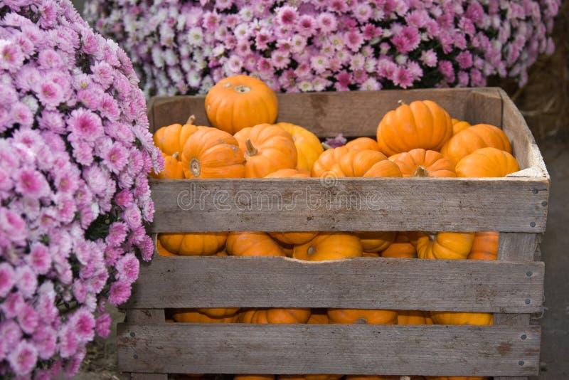 Krat van pompoenen en Mums royalty-vrije stock foto