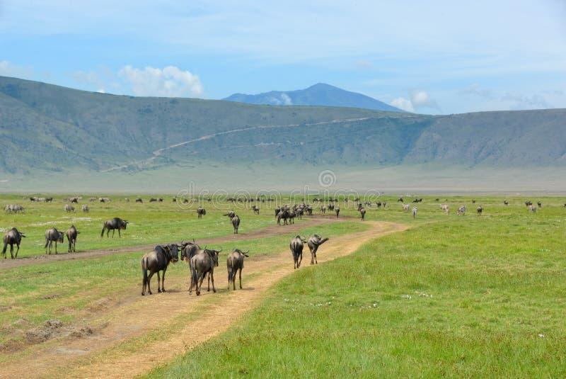 Krater Ngorongoro, Tanzania royalty-vrije stock fotografie